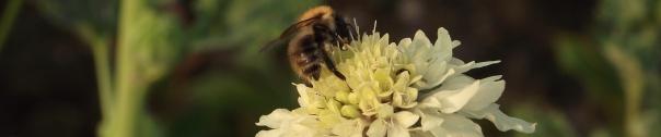 Bee on Cephalaria Gigantea 2
