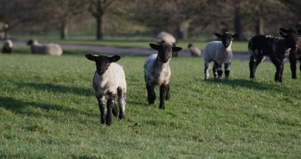 Lambs at Ragley Hall